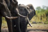 81 African country proboscidians demoralise