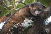 New vertebrate olinguito 2013 08 15