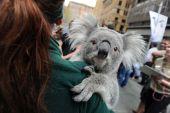 Koalas dry