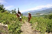 Peru shrub 20113 08 26