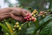 South sudan drinkable nespresso clooney robusta
