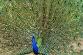 Peacock 2013 09 25